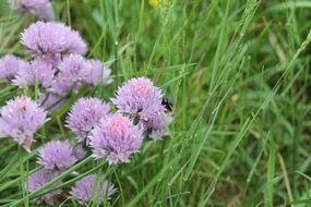 Chives Onion in bloom, purple flowers at green grass