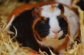 guinea pig sitting in hay
