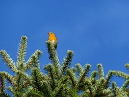 robin on conifer