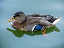 colorful duck in a green lake