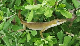 green anole on the bush
