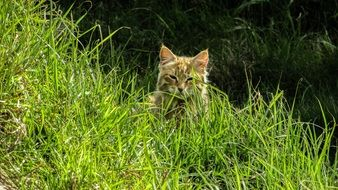 cute lazy cat on nature in the green grass