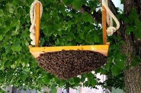 Hive of Honey Bees on board at tree
