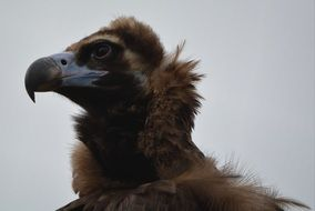 profile portrait of a vulture