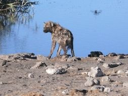 hyena on the waterfront in the wild