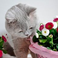 grey cat smelling flowers