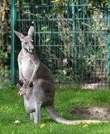 gray kangaroo at the zoo