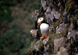 Horned Puffin Bird sitting on a rock