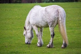White horse eating grass in a meadow