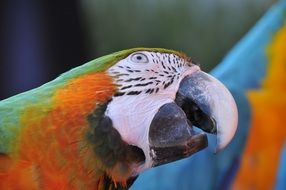 colorful Ara Parrot closeup
