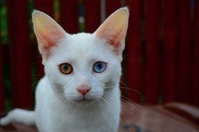 white cat with colored eyes