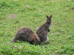 kangaroo in a green meadow in Australia