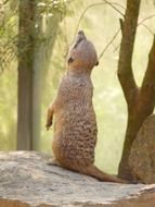 meerkat is standing on its hind legs