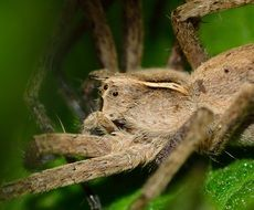 Pisaura is a genus of Eurasian spiders