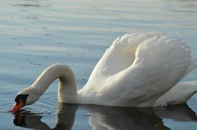 graceful swan drinking water