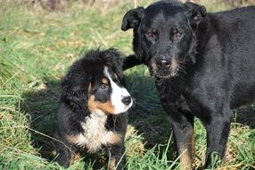 bernese mountain puppy and big domestic dog