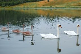 brown and white swans swim in a pond in autumn in Russia