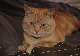 red cat lies on a brown bedspread