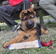 cute fluffy german shepherd puppy