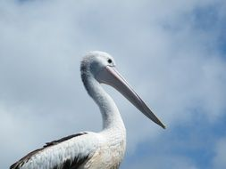 proud Pelican Bird wildlife portrait