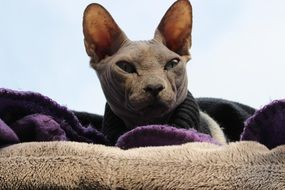 beautiful bald cat sphinx