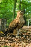 bird of prey in the forest