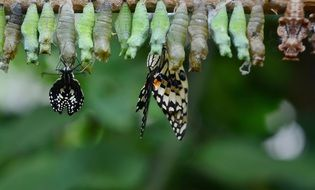 green cocoons and just hatched butterflies