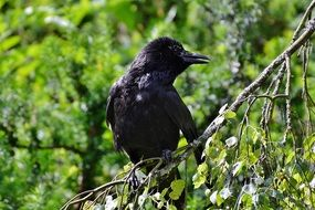 black crow on a branch in spring