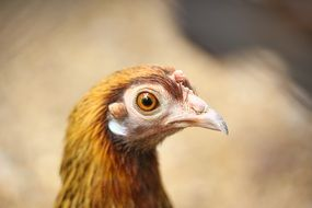 brown hen head, side view, close up