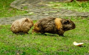 two guinea pigs on green grass