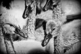 many ducklings in black and white image
