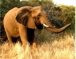big african Elephant Wildlife portrait