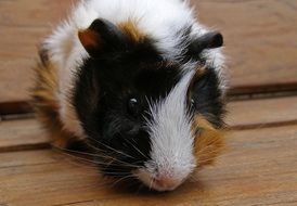 three-color guinea pig