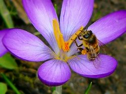 insect on purple crocus close-up