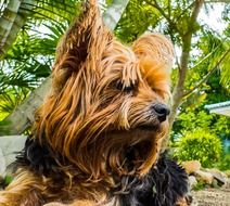 cute hairy yorkshire terrier