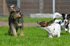 jack russel terrier growling at hybrid dog