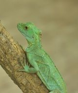 green lizard on the tree branch