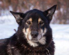 portrait of a sled dog in alaska