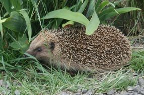 picture of the hedgehog is in a garden