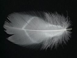 Black and white smooth feather