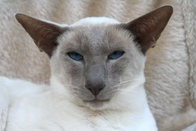 Siamese cat with blue eyes and pointed ears