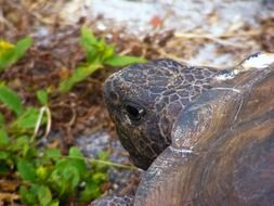 beautiful and amazing Gopher Tortoise