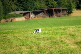 black and white cat on a farm meadow