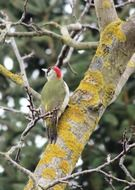 green woodpecker on a tree trunk