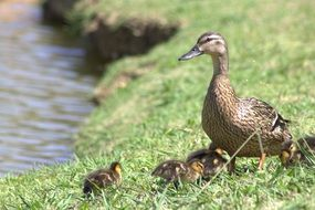 Mallard Duck with Babies on grass at water