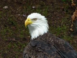 Bald eagle with white head