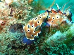 chromodoris in the underwater world