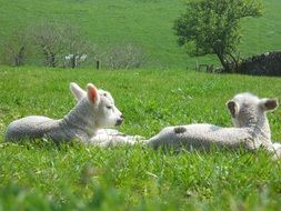 two cute fluffy lambs are resting on the grass