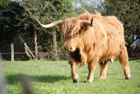 hairy bull with big horns