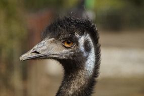 Flightless emu Bird